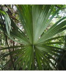 Palma - Carludovica palmata - osivo palmy - 3 ks