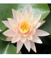 Leknín růžový- Nymphaea capensis- semena Leknínu- 6 ks