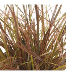 Okrasná tráva - Uncinia egmontiana - osivo okrasné trávy - 5 ks