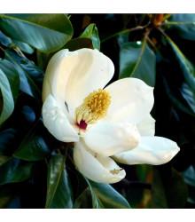 Magnólie velkokvětá - Magnolia grandiflora - osivo magnólie - 5 ks