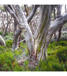 Eukalyptus Pauciflora mrazuvzdorný - Eucalyptus pauciflora - prodej semínek - 8 ks