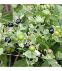 Rulík zlomocný - Atropa belladonna - prodej semen rulíku - 10 ks