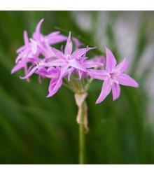 More about Česneková tráva - Tulbaghia violacea - semena česnekové trávy - 5 ks