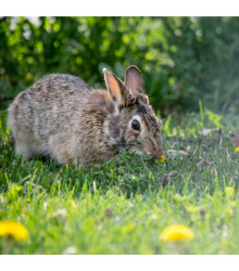 Tráva pro králíky - tráva pro domácí mazlíčky - semena - 15 gr