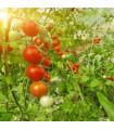 Rajče tyčkové F1 Hamlet v bio kvalitě - prodej semen rajčat - 5 ks