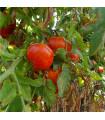BIO tyčkové rajče Country F1 - prodej bio osiva - 10 ks