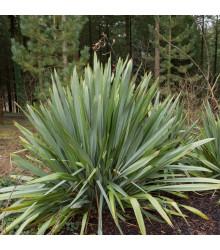 Lenovník obecný - Len Novozélandský - Phormium tenax - osivo lenovníku - 6 ks