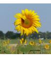 Slunečnice King Kong - helianthus annuus - prodej semen - 6 ks