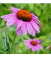 Třapatka Purpur - Echinacea purpurea - semena třapatky - 15 ks