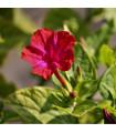 Nočenka jalapovitá - červená - Mirabilis jalapa - prodej semen - 1 gr