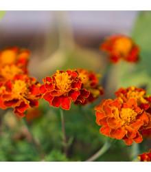 Aksamitník rozkladitý Orange flame - Tagetes patula nana - osivo aksamitníku - 100 ks