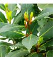 Vavřín vznešený - Bobkový list - prodej semen - 5 ks