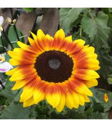 Slunečnice roční Helios - Helianthus annuus - osivo slunečnice - 7 ks