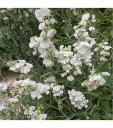 Hrachor pnoucí královský bílý - Lathyrus odoratus - osivo hrachoru - 20 ks