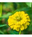 Ostálka jiřinkokvětá žlutá - Zinnia elegans - semena Ostálky - 1 gr