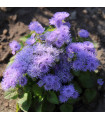 Nestařec mexický- Ageratum houstonianum- semena Nestařce- 500 ks