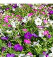 Petúnie velkokvětá nízká - Petunia hybrida nana - prodej semen petunie - 20 ks