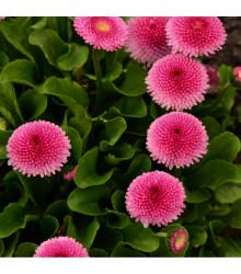 Sedmikráska pomponková růžová - Bellis perennis - osivo sedmikrásky - 0,1 g
