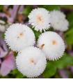 Sedmikráska ponponková bílá - Bellis perennis - prodej semen - 0,1 gr