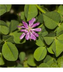 Jetel zvrácený - Trifolium resupinatum - semena jetele - 100 ks