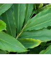 Kardamom - Elettaria cardamomum - semena kardamomu - 5 ks