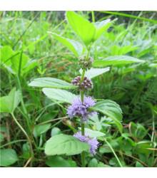 Máta rolní - Mentha arvensis - semena máty - 20 ks