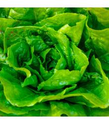 More about Salát hlávkový Attractie - Lactuca sativa - osivo salátu - 100 ks