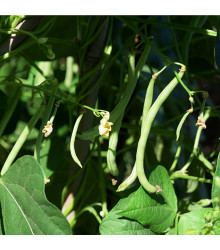 Fazol tyčkový Primel - Phaseolus vulgaris - osivo fazolu - 20 ks