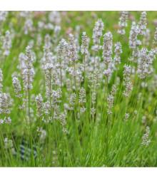 Levandule lékařská bílá Ellegance Snow - Lavandula angustifolia - osivo levandule - 15 ks
