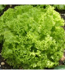 Salát listový kadeřavý Lollo Bionda - Lactuca sativa - osivo salátu - 450 ks
