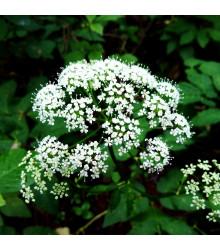 More about Kerblík lesní - Anthriscus sylvestris - semena kerblíku - 0,5 g