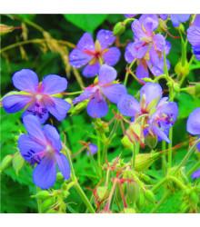 More about Kakost smrdutý - Geranium robertianum - osivo kakostu - 10 ks