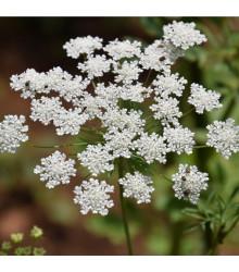 Pakmín větší - Ammi majus - semena kmínu - 300 ks