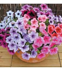Petúnie Superbissima směs - Petunia nana compacta - osivo petúnie- 20 ks
