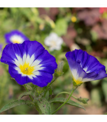 More about Svlačec trojbarevný - Convolvulus tricolor - osivo svlačce - 0,7 g