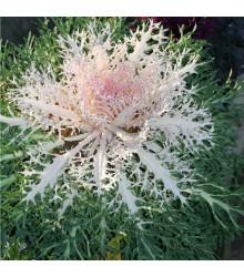 More about Okrasné zelí Peacock F1 - Brassica oleracea - osivo okrasného zelí - 20 ks