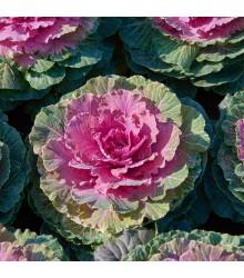 Okrasné zelí Pigeon F1 Victoria - Brassica oleracea - osivo okrasného zelí - 20 ks