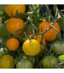 Převislé rajče Tom Yellow - Lycopersicon esculentum - osivo rajčat - 8 ks
