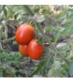 Rajče keříčkové Roma - semena rajčete - 0,1 gr