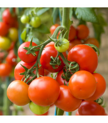 Rajče Tiny Tim - Lycopersicon lycopersicum - osivo rajčat - 7 ks