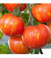 Rajče - Červená zebra - semena rajčat - 6 ks