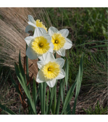 Narcis Ice Follies - Narcissus L. - cibule narcisů - 3 ks