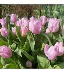 Tulipán Candy Prince - Tulipa - cibule tulipánů - 3 ks