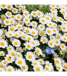 Kopretina balkonová Snowland - Chrysanthemum paludosum - osivo kopretiny - 50 ks
