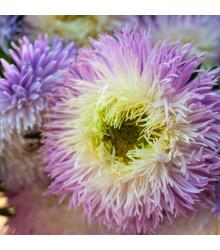 Astra čínská fialová Gerda - Callistephus chinensis - osivo astry - 150 ks