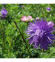 Astra čínská jehlicovitá fialová Denisa - Callistephus chinensis - osivo astry - 150 ks