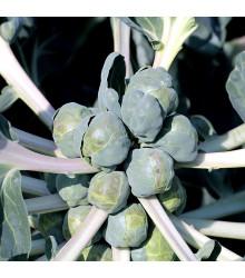 Kapusta růžičková Groninger - Brassica oleracea - semena kapusty - 50 ks