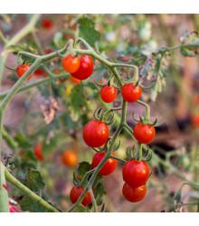Divoké rajče rybízové Sweet Pea - Solanum pimpinellifolium - osivo rajčat - 6 ks