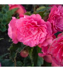 Begonie plnokvětá růžová - Begonia superba - cibulky begónie - 2 ks