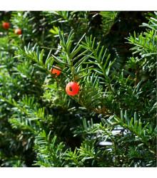More about Tis japonský - Taxus Cuspidata - semena - 5 ks
